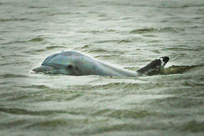 An Oil Spill Killed the Gulf's Dolphins—Are Santa Barbara's Marine Mammals Next?