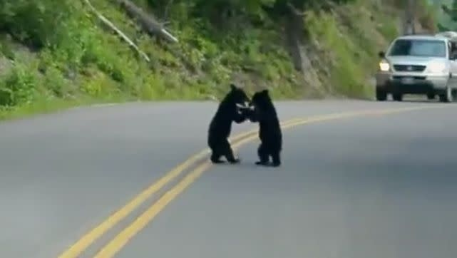 Black bear cubs playing on roadway halts traffic, creates cuteness