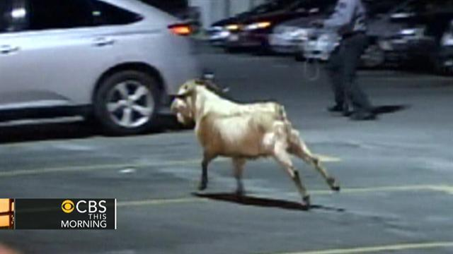 Watch: Goat on the loose in Brooklyn, N.Y.