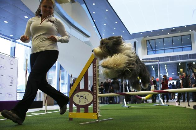 A Bearded Collie jumps next to its handler at the agility trial in the 138th Westminster Kennel Club All Breed Show in New York