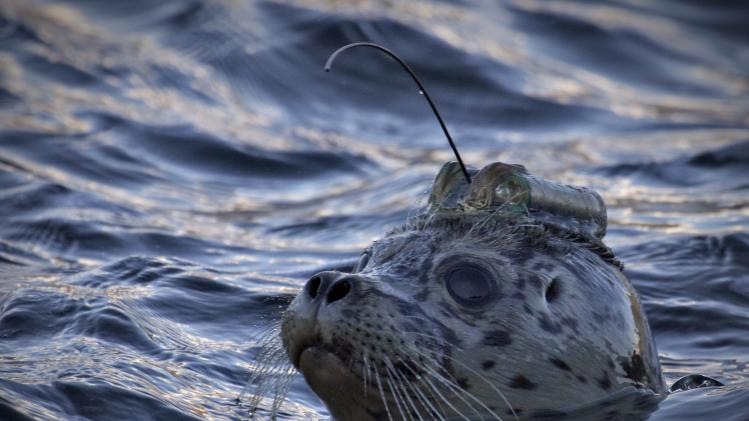A harbour seal wearing a satellite linked transmitter on its head is pictured after its release into the waters of Howe Sound in Porteau Cove, British Columbia