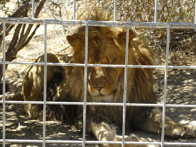 This 2012 photo provided by KFSN-TV shows a 4-year-old male African lion named Couscous at Cat Haven, a private wild animal park in Dunlap, Calif. Authorities say the lion killed a female intern-volun