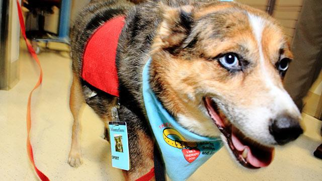 Therapy Dog 'Spirit', Once Abused, Eases Pain for Sick, Dying
