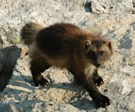 Wolverines live in cold places that are resource-scarce.