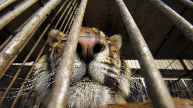 """A tiger sits in a cage Puerto Falcon, Paraguay, on the border with Argentina, Friday, Aug. 24, 2012.  Nine Bengal tigers and seven African lions from an Argentine circus have been stuck at the border in Paraguay for two months, because Argentine officials refuse to approve their paperwork for re-entry. Paraguay's Wildlife Ministry announced Friday they will move the animals two by two to the Asuncion zoo, """"so that they can live in some comfort and not in a strange area."""" (AP Photo/Jorge Saenz)"""