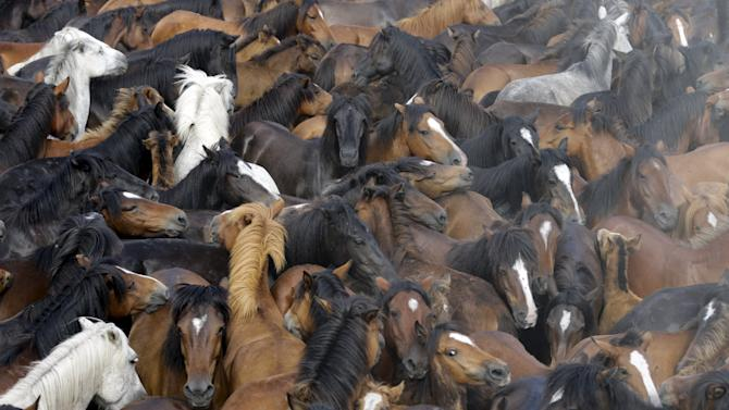 """Wild horses are seen gathered during the """"Rapa das Bestas"""" traditional event in the village of Sabucedo, northwestern Spain"""