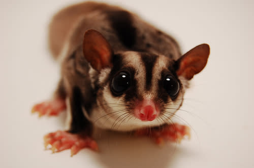 Are sugar gliders legal where you live?