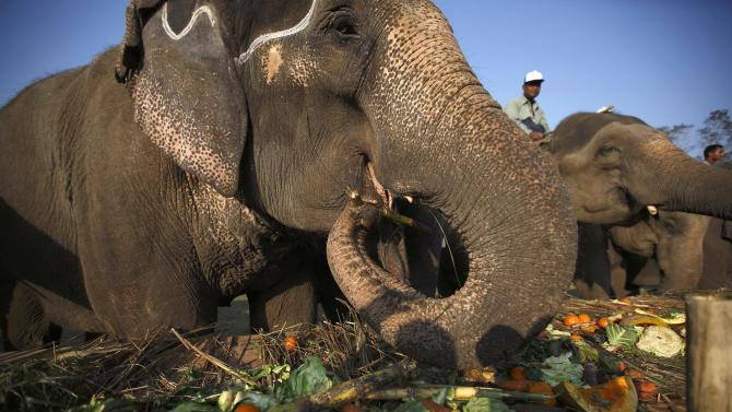 Elephants feed at a feast during the Elephant Festival event at Sauraha in Chitwan