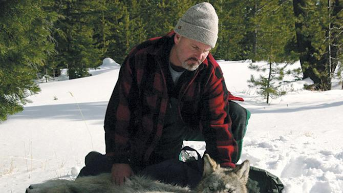 This Feb. 13, 2010 file photo provided by the Oregon Department of Fish and Wildlife shows wolf coordinator Russ Morgan with a female wolf pup just fitted with a radio collar in northeastern Oregon. For the past year, Oregon has been a wolf-safe zone, where a temporary court order bars wildlife officials from killing wolves that kill livestock. While wolf numbers has risen to 46, the number of livestock kills has not. Wolf advocates hope the Oregon experiment can spread elsewhere, especially Idaho, where rising numbers of wolves killed last year was accompanied by a spike in livestock attacks. (AP Photo/Oregon Department of Fish and Wildlife)