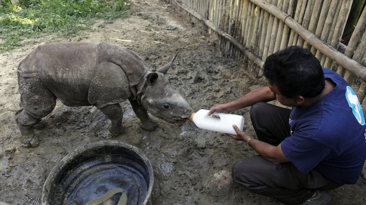 "In this Sunday, Dec. 2, 2012 photo, a park official feeds a two-and-half month old male orphan one-horned rhinoceros calf rescued during recent floods walks at a rehabilitation center inside the Kaziranga National Park, a wildlife reserve that provides refuge to more than 2,200 endangered Indian one-horned rhinoceros, in the northeastern Indian state of Assam. Even in this well protected reserve, where rangers follow shoot-to-kill orders, poachers are laying siege to ""Fortress Kaziranga,"" attempting to sheer off the animals' horns to supply a surge in demand for purported medicine in China that's pricier than gold. A number of guards have been killed along with 108 poachers since 1985 while 507 rhino have perished by gunfire, electrocution or spiked pits set by the poachers, according to the park.  (AP Photo/Anupam Nath)"