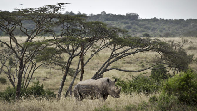 In this photo taken Thursday, Sept. 20, 2012, a white rhino grazes in Nairobi National Park, Kenya. Seeing a dire situation grow worse, the animal conservation group the World Wildlife Fund (WWF) enlisted religious leaders on Thursday, Sept. 20, 2012 in the fight to end the slaughter of Africa's elephants and rhinos by poachers, hoping that religion can help save some of the world's most majestic animals. (AP Photo/Ben Curtis)