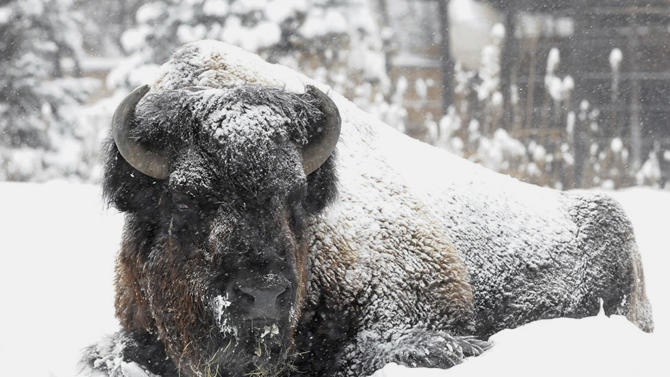 In this Sunday, Jan. 5, 2014 photo, Ron, a bison at Brookfield Zoo, is covered in snow and doesn't seemed fazed by the frigid temperatures or snow blowing through the Chicago area. The zoo was closed Monday, Jan . 6 due to the snowstorm and sub-zero temperatures and plans to reopen Tuesday. It was only the fourth time in Brookfield Zoo's history dating back to 1934 that it has closed due to severe weather conditions. (AP Photo/Chicago Zoological Society, Jim Schulz)