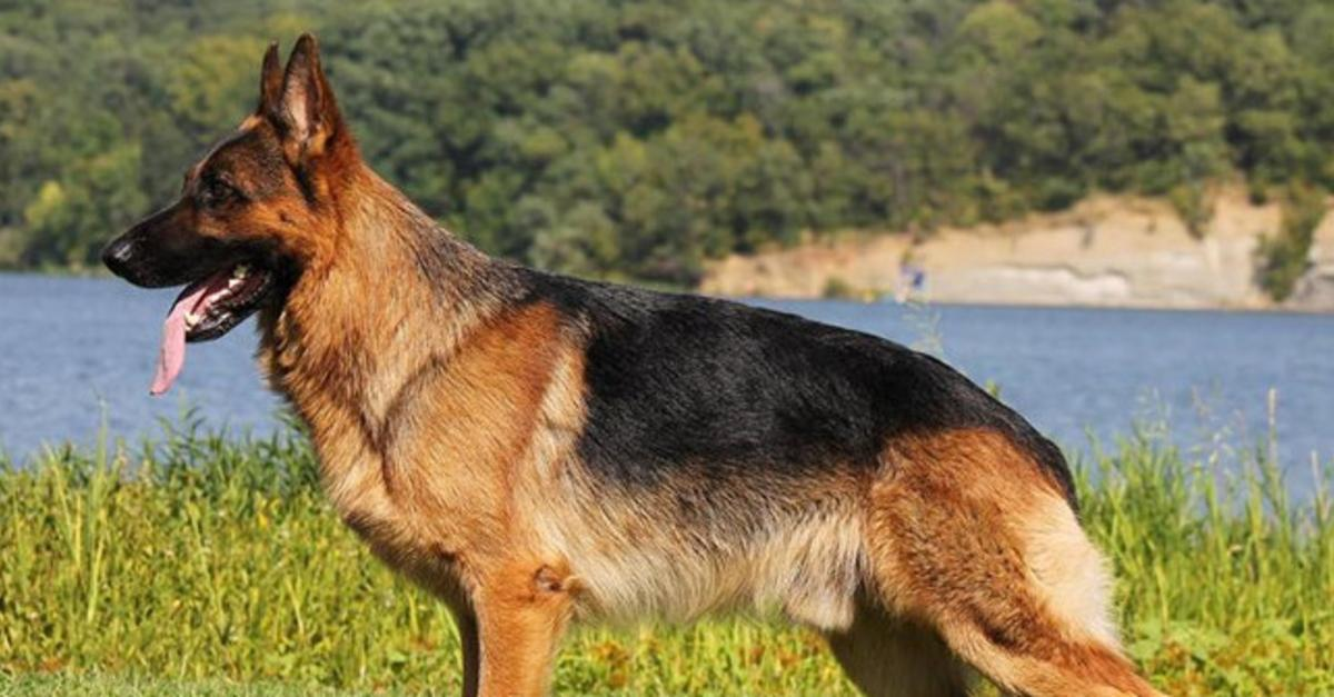 13 Most Powerful Dogs