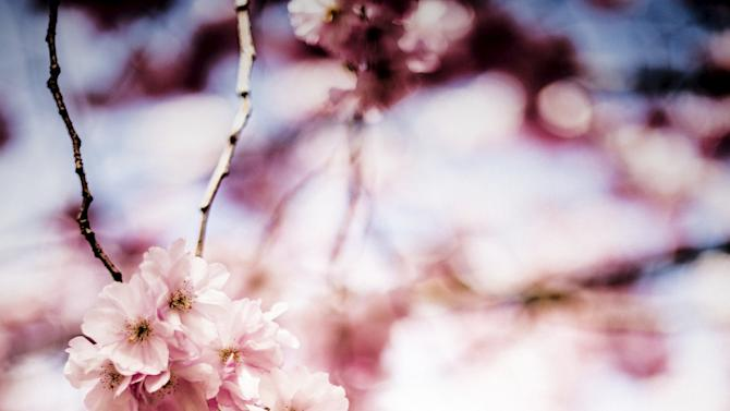 Blossoming cherry trees are seen at the cemetery of Bispebjerg in Copenhagen