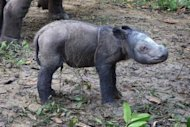 One day old male baby Sumatran rhinoceros named Andatu is seen at the Sumatran Rhino Sanctuary in Way Kambas National Park in Lampung, in this handout photo from the Indonesian Ministry Of Forestry. The critically endangered Sumatran rhinoceros, which became Saturday only the fourth birth in captivity in more than a century, was named Monday a &quot;gift from God&quot;
