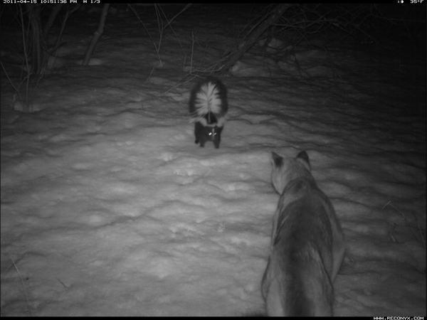 Skunk Scares Off Cougar in Camera Trap Photo