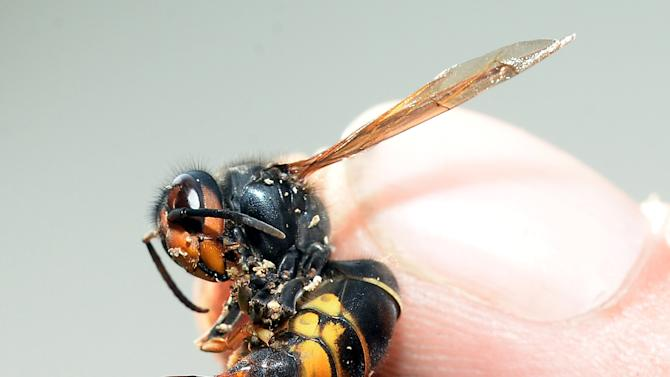 A person holds an Asian hornet, with its stinger poking out, in Saint-Paul-les-Dax, southwestern France, on August 5, 2014