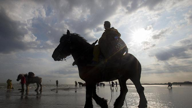 Debryune, a Belgian shrimp fisherman for the last 36 years, rides a horse to haul a net out in the sea to catch shrimps during low tide at the coastal town of Oostduinkerke