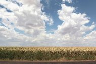"This file photo shows a corn field near Perryton in Texas, in 2011. US regulators denied a request to change the name of high-fructose corn syrup to merely ""corn sugar,"" in a high-profile dispute between two industries"