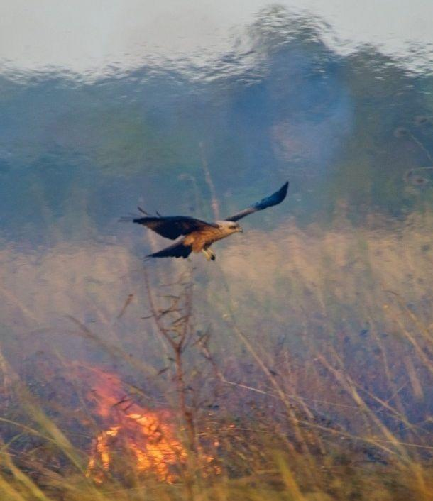 Birds of prey are starting fires deliberately in Australia, study reveals