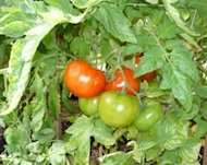 veggies_tomatoes