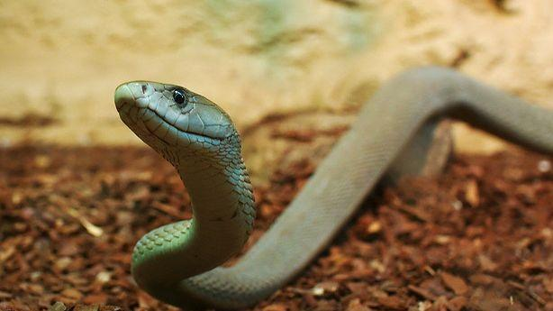 Snake Venom Could Relieve Pain; Baby Mice Birthed From Stem Cells