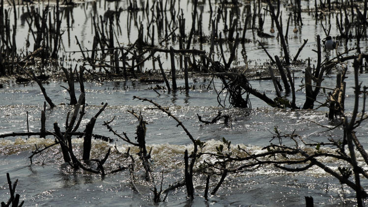 Dead mangrove is seen on Cat Island in Barataria Bay in Plaquemines Parish, La., Wednesday, April 11, 2012. (AP Photo/Gerald Herbert)