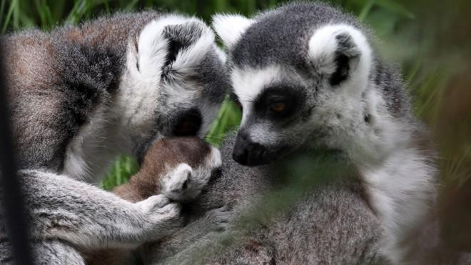 Turns out these lemurs — like humans — are in the minority on the monogamy front.