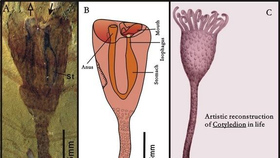 500-Million-Year-Old Animal Looked Like a Tulip