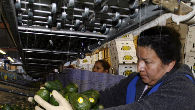 FILE - In this Jan. 7, 2007 file photo, Paula Salgado packs Haas avocados at the Del Rey Avocado Co. in Fallbrook, Calif. So why the avocado and why the Super Bowl? It helped that the avocado season happens to hit its prime right around kickoff. (AP Photo/Denis Poroy, File)