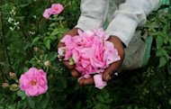 Workers pick flowers at a farm in Kannauj in the northern state of Kanpur. In the remote town of Kannauj, the perfume capital of India, traditional workers are struggling to keep their craft alive in the face of fierce competition from modern fragrance makers