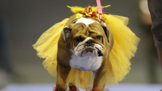 Addie, owned by Lisa Schnathorst of Overland Park, Kansas, walks across stage during the 34th annual Drake Relays Beautiful Bulldog Contest, Monday, April 22, 2013, in Des Moines, Iowa. The pageant kicks off the Drake Relays festivities at Drake University where a bulldog is the mascot. (AP Photo/Charlie Neibergall)