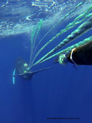 Rescuers Free Whale Entangled in Fishing Gear