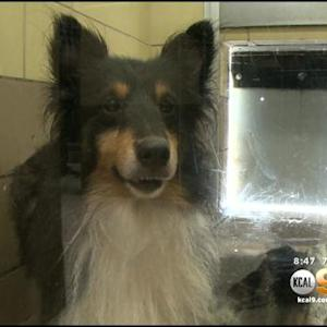 61 Shelties Surrendered After House Fire Up For Adoption In Jurupa Valley