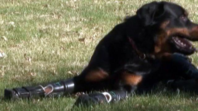 'Robodog' back on his feet