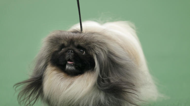 A Pekingese named Malachy walks across the floor during the judging of the toy group at the 136th annual Westminster Kennel Club dog show in New York, Monday, Feb. 13, 2012. Malachy went on to win the group. (AP Photo/Seth Wenig)