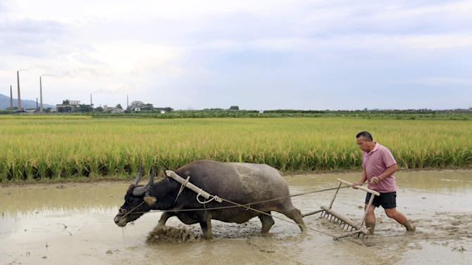 A farmer drives his buffalo to plow a paddy field in Daxiang village of Liuzhou