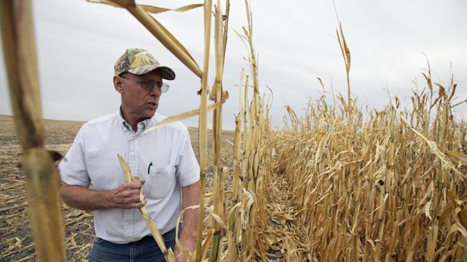 FILE - In this Sept. 12, 2013 file photo, farmer Steve Henry looks at a patch of corn in Arapahoe, Neb., that failed due to drought, and will not be harvested. Nationwide, farmers will be paid a record $16 billion in crop insurance claims for 2012 because of the widespread drought, a staggering amount that has critics calling for changes to what they say is an inefficient taxpayer subsidy the government cannot afford. (AP Photo/Nati Harnik, File)