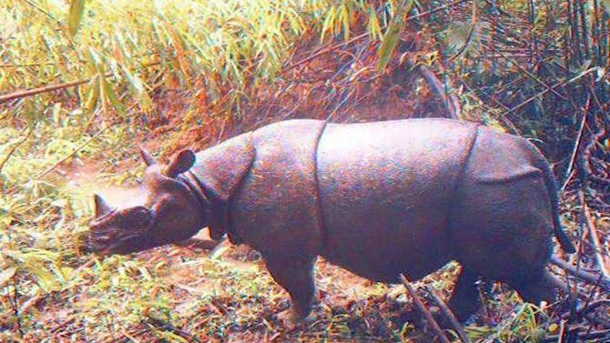 In this undated image released by Ujung Kulon National Park, an adult male Javan rhino is caught by a video trap at Ujung Kulon National Park in West Java, Indonesia.  Camera traps in the Indonesian park have captured images of 35 endangered Javan rhinos, five of them calves. (AP Photo/Ujung Kulon National Park) NO SALES