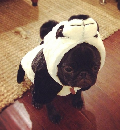 How a Pug Does a Costume