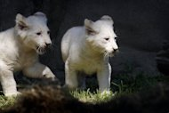 Two white lion cubs explore their enclosure at the Ouwehands Zoo in Rhenen, on June 6, 2013. Thai police say they have discovered more than 200 live wild animals including monkeys, tortoises and 14 white lions during a raid on a house in the capital Bangkok