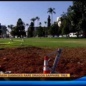 Car crash damages rare dragon sapphire tree