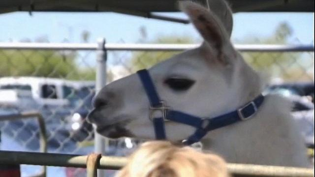 Infamous Arizona llamas retire