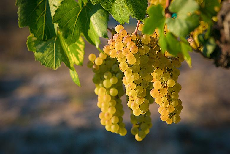 Drought-Weary California Tries to Make Wine out of Less Water