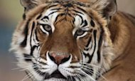 Michael Jackson's Pet Tiger Thriller Dies