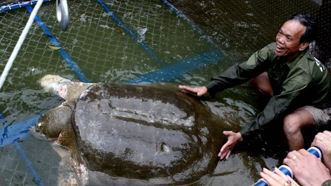 A giant soft-shell turtle considered a sacred symbol of Vietnamese independence is guided into a cage for a health check by handlers at Hanoi's Hoan Kiem lake on April 3, 2011