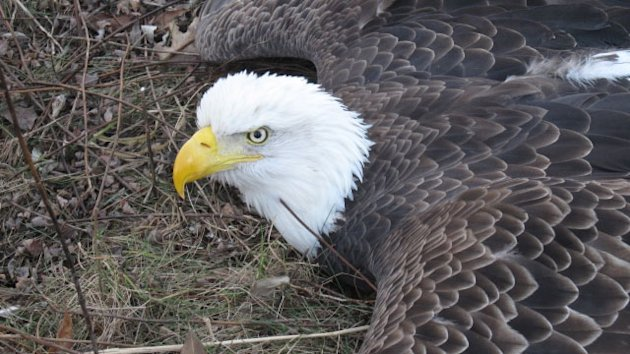 Trapped Bald Eagle Rescued By Police (ABC News)