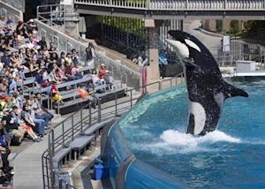 Visitors are greeted by an Orca killer whale as they attend a show featuring the whales during a visit to the animal theme park SeaWorld in San Diego, California