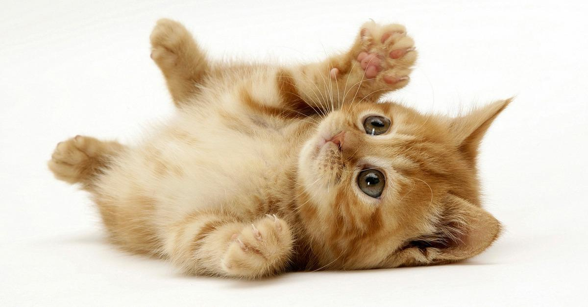 What Kind of Kitten is Right For You?
