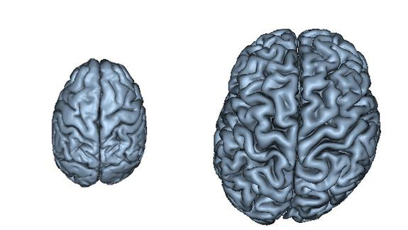 Humans Evolved Flexible, Lopsided Brains